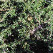 Juniperus com. 'Green Carpet' 3