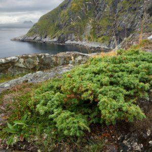Juniperus com. 'Repanda'