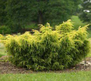 Juniperus med. 'Old Gold'