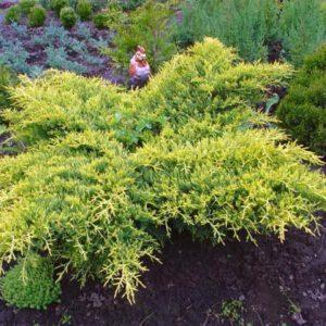 Juniperus media 'Gold Coast'