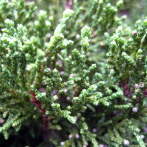 Juniperus sab. 'Tamariscifolia'