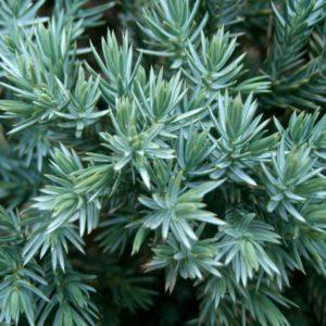 Juniperus squamata 'Blue Star'