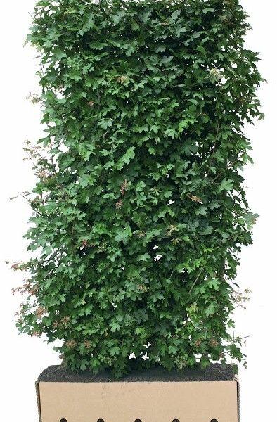 Los element Acer campestre 200cm