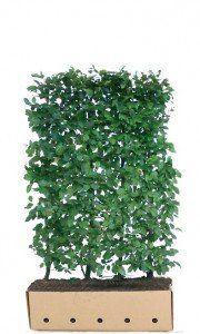 Los element Carpinus betulus 150cm