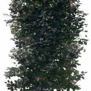 Los element Fagus sylvatica Atropunicea 200cm