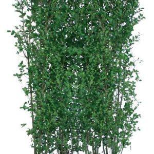 Los element Ligustrum ovalifolium 200cm