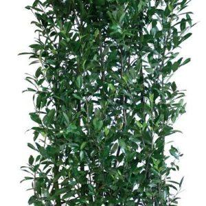 Los element Prunus laurocerasus Caucasica 200cm