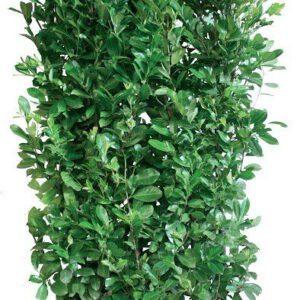Los element Prunus laurocerasus Rotundifolia 200cm