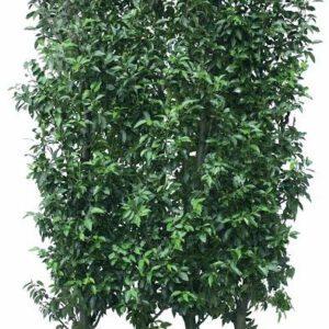 Los element Prunus lusitanica Angustifolia 200cm