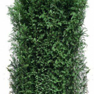 Los element Taxus baccata 200cm