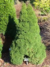 Picea glauca 'Conica' 2