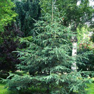 Picea glauca 2