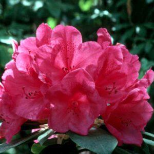 Rhod. 'Anna Rose Whitney'