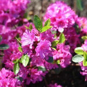 Rhododendron (AJ) 'Geisha Purple'