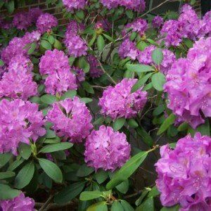 Rhododendron (AJ) 'Mary Helen'