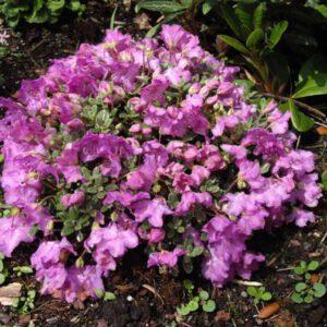 Rhododendron Keleticum 2