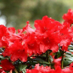 Rhododendron (R) 'Abendrot'