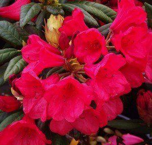 Rhododendron (R) 'Elizabeth'
