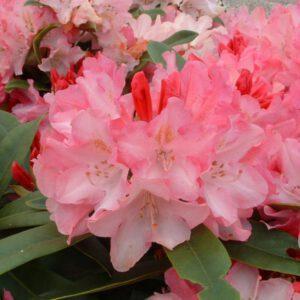 Rhododendron yak. 'Dreamland'