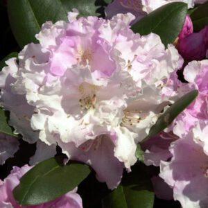 Rhododendron yak. 'Silberwolke'