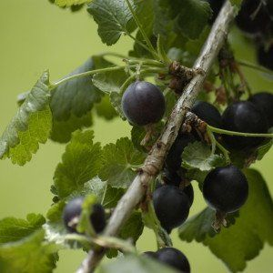 Ribes 'Jostabes'