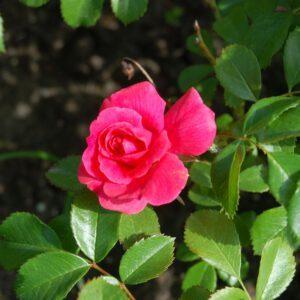Rosa Bad Birnbach 2