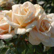 Rosa Lions Rose 2