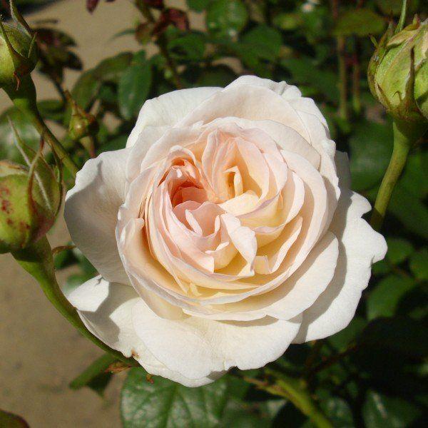 Rosa Lions Rose