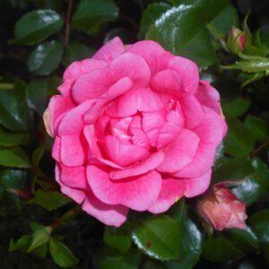 Rosa Palmengarten Frankfurt 2