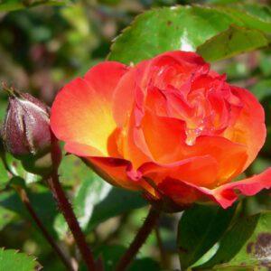 Rosa Rumba 2