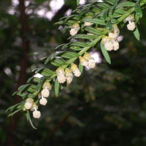 Taxus bacc. 'Fastigiata Robusta'