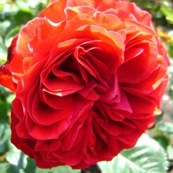 rosa balmoral palace