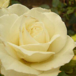 rosa-kristal-perle